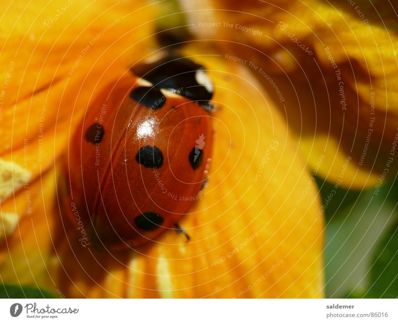 Red Yellow Happy Orange Point Ladybird Beetle Violet plants Good luck charm