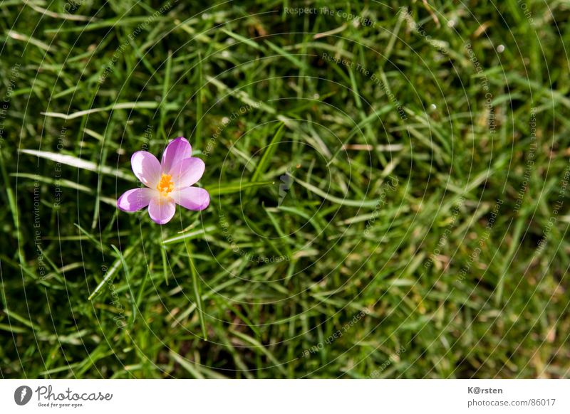 sun lovers Crocus Grass Blossom Green Caresses Spring Yellow Brilliant Loneliness Exterior shot Meadow Knoll Pollen Lawn Nature Garden in full bloom