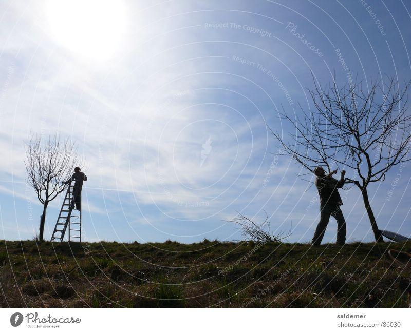 spring cut Cut Man Fruit trees Young man Stepladder Craft (trade) landscape gardener pruning Sun Sky Ladder Abbreviate