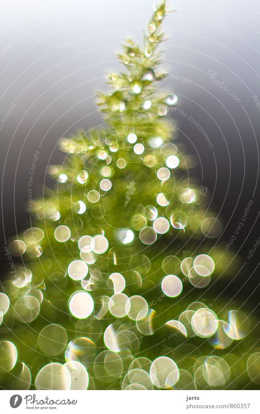 Plant Christmas & Advent Tree Contentment Happiness Drops of water Anticipation