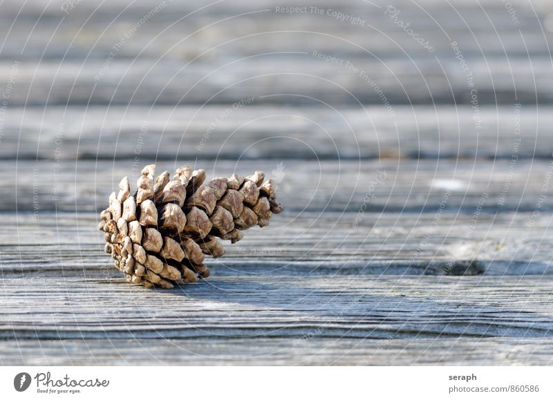Cone Pine Pine Tree Arch Pine needle cone Gnarled Natural Organic pinus fir Seed Conifer Coniferous trees Decoration Macro (Extreme close-up) Public Holiday