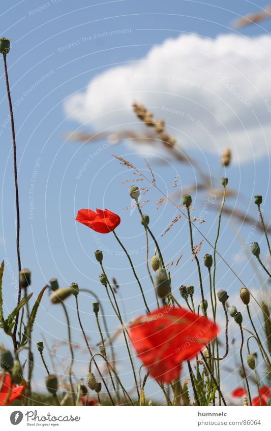 flowers Flower Red Clouds Green Plant Sky Blue