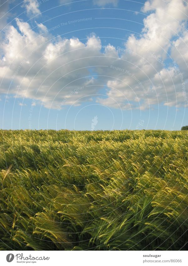 Sky Nature Green Plant Summer Clouds Environment Field Barley