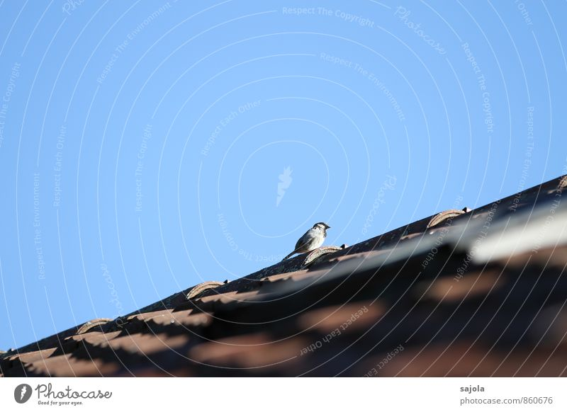 The sparrow whistles off the roof House (Residential Structure) Roof Animal Sky Cloudless sky Wild animal Bird Sparrow 1 Observe Sit Blue Roofing tile