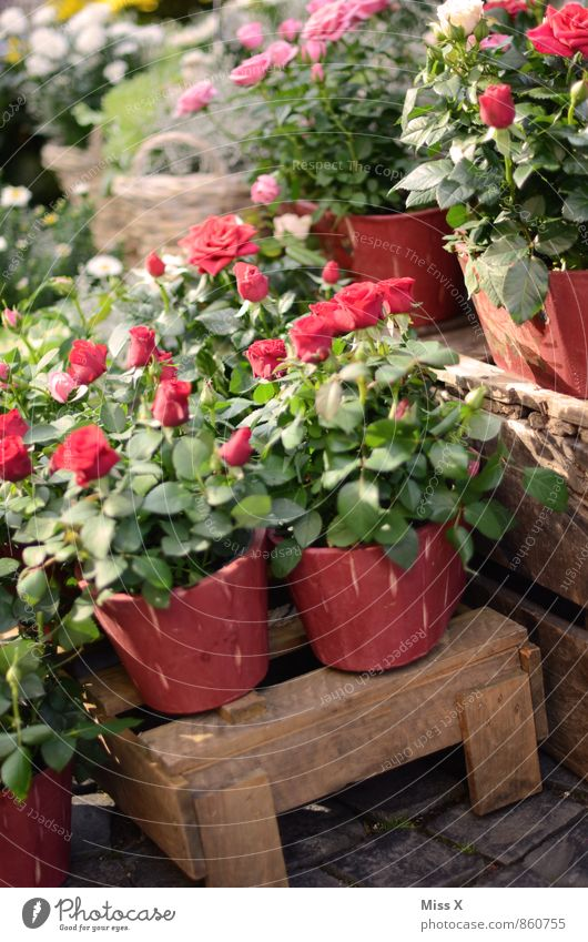 roses Shopping Decoration Valentine's Day Mother's Day Flower Rose Blossom Pot plant Marketplace Fragrance Red Emotions Love Infatuation Red rose Rose tree
