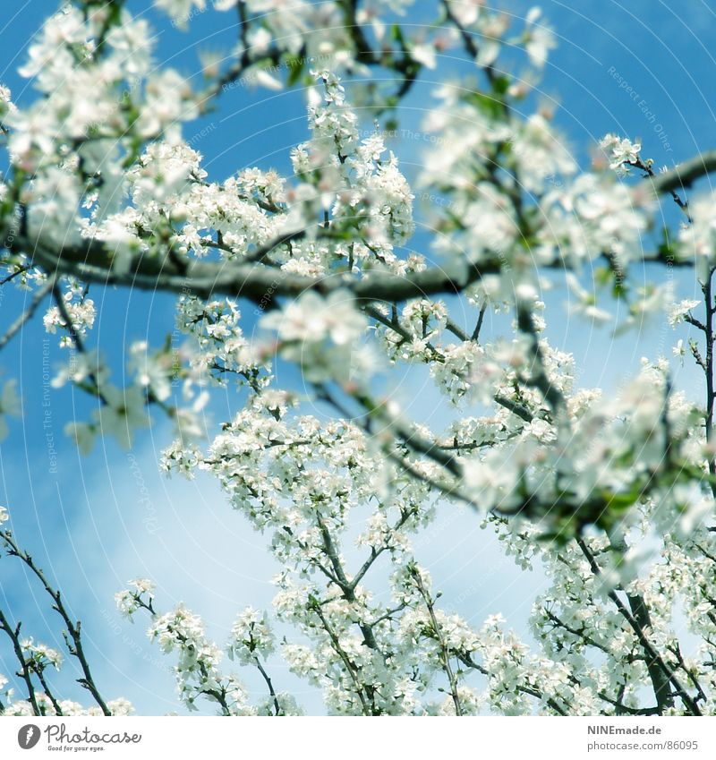 Spring is coming ... Spring fever Cherry blossom Physics Blossom Good mood Square Karlsruhe Ambient Happiness Flair Illuminating White Park Fruit feel well