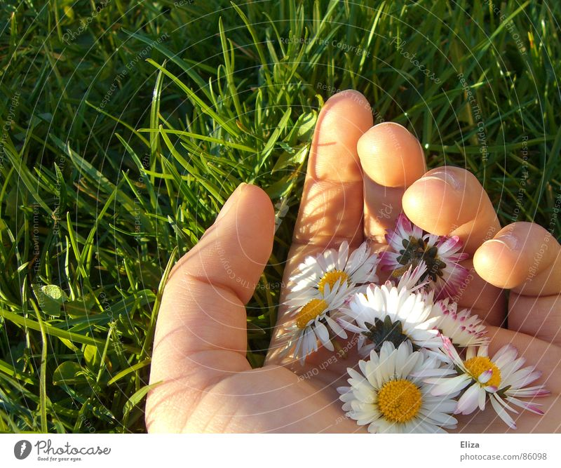 A hand full of daisies in the green meadow in summer or spring Daisy Sun by hand Pick Picked Fingers Summer flowers Plant Beautiful weather Grass bleed Meadow
