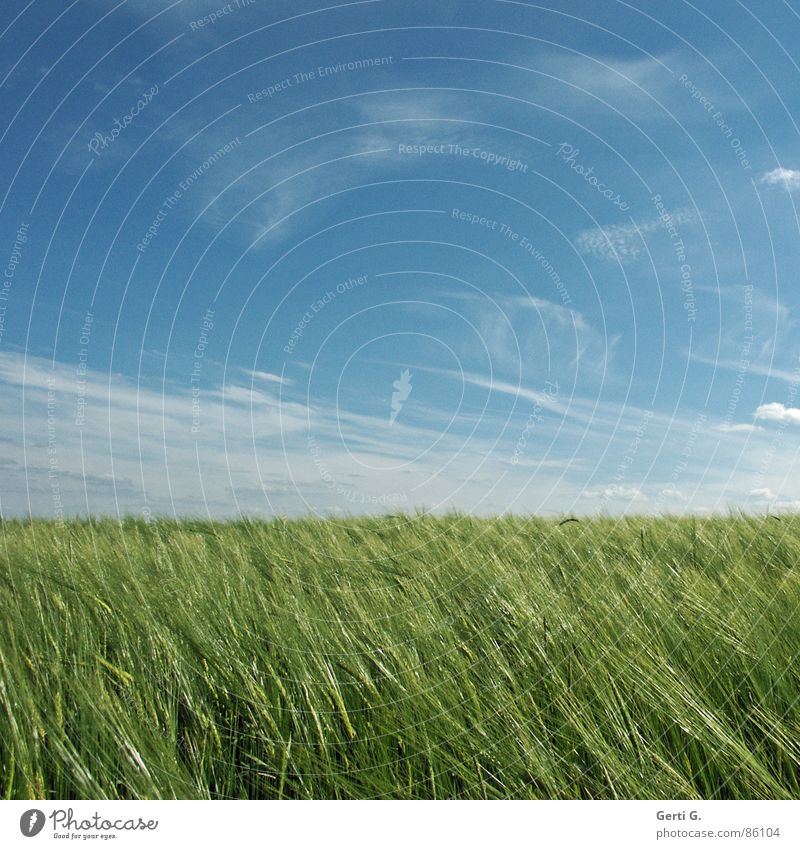 Sky Green Summer Field Glittering Wind Crazy Fresh Square Agriculture Harvest Cornfield Juicy Wheat