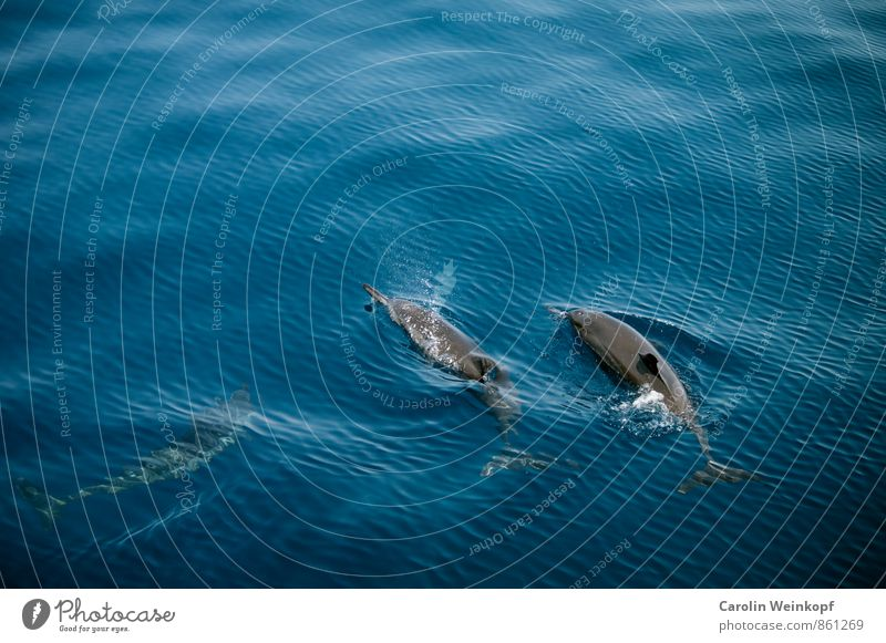 Summer Blue Water Ocean Animal Swimming & Bathing Waves Wild animal Group of animals Adventure Environmental protection Flock Dolphin Animal family