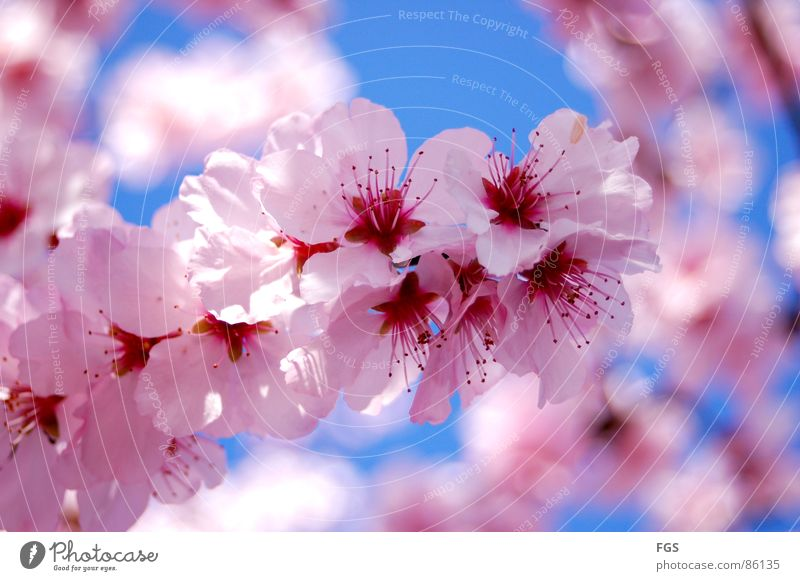 Nature Blue Beautiful Tree Red Plant Sun Calm Relaxation Spring Pink Elegant Fresh Growth Esthetic Illuminate