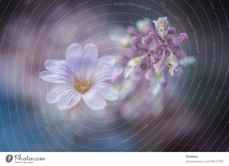 Nature Blue Plant Beautiful Flower Blossom Natural Dream Elegant Blossoming Kitsch Violet Fragrance Double exposure Spring fever Faded