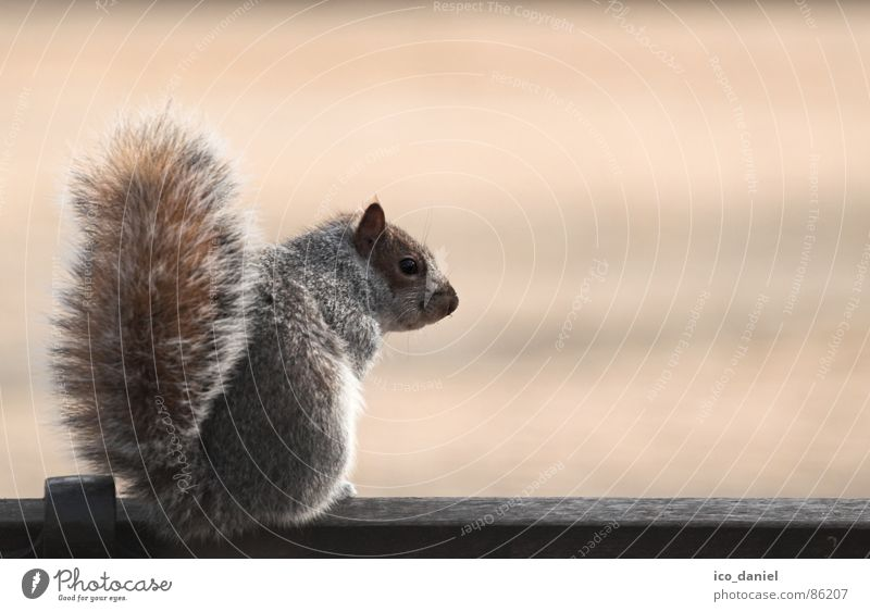 Short Break - grey squirrel Nature Park Wild animal 1 Animal Sit Small Cute Clean Obedient Squirrel Mammal Bench Smooth Colour photo Exterior shot