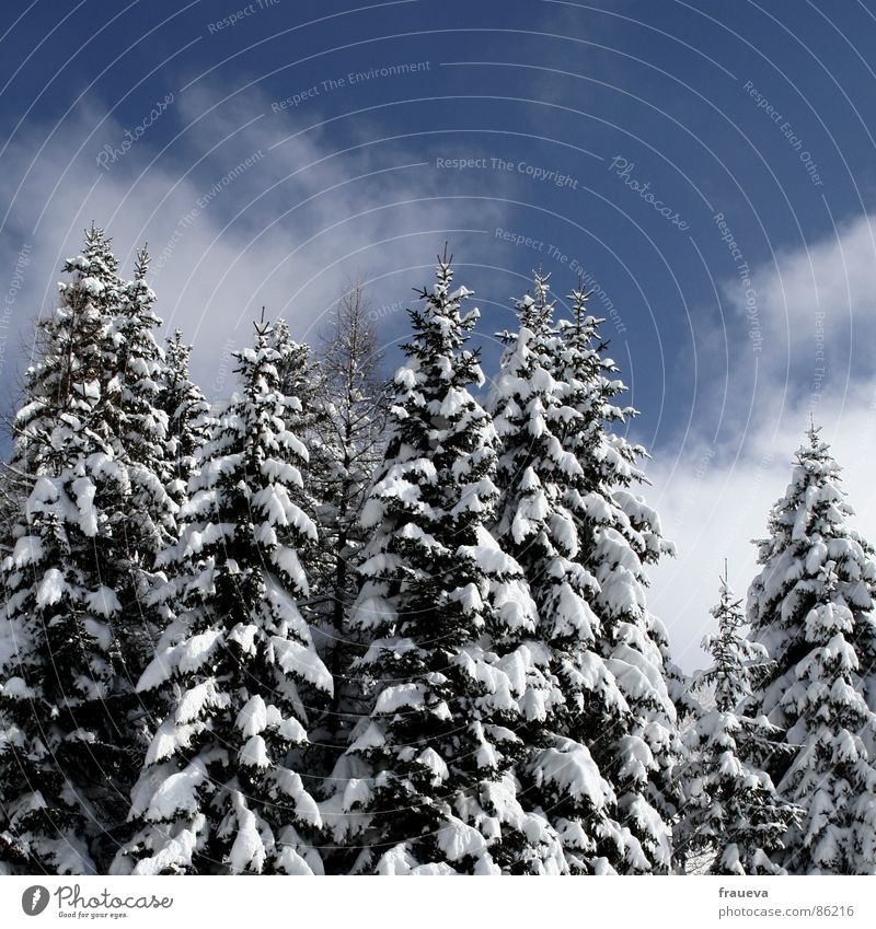 rarity Forest Idyll Loneliness Fir tree Spruce Winter Snow Landscape Nature Sky trees heaven blue