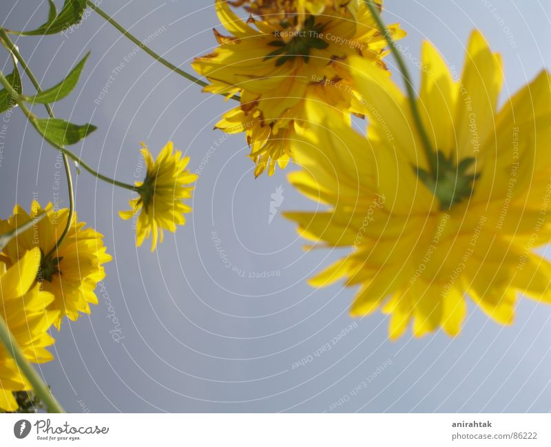 Sky Flower Summer Joy Yellow Garden Freedom Landscape Beautiful weather Sky blue Spring fever Plumed Light blue