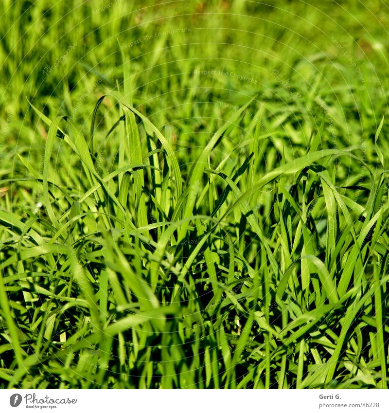 Green Summer Joy Meadow Grass Bright Field Illuminate Fresh Wind Lawn Agriculture Pasture Part Harvest Blade of grass