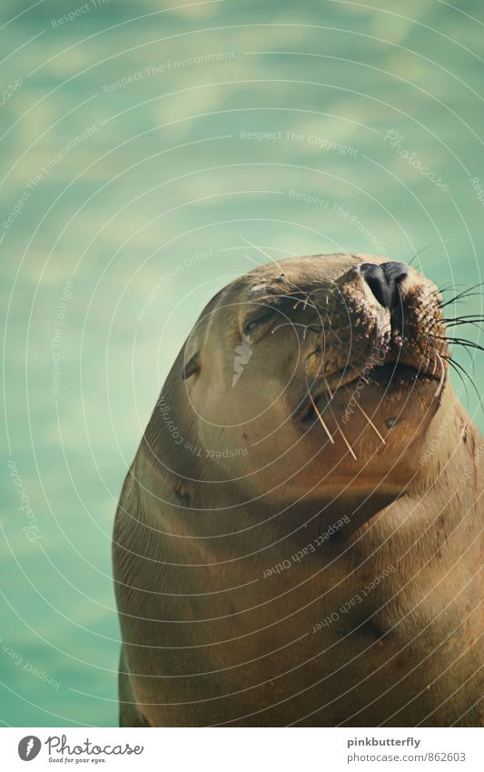 snore Water Summer Animal Zoo Harbour seal Sea lion Seals 1 To enjoy Sleep Fat Funny Maritime Brown Turquoise Contentment Peaceful Caution Serene Patient Calm
