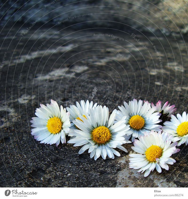 collected picked daisies outside on stone Daisy Summer Sunbathing Decoration Plant Spring Warmth Flower Blossom Stone Concrete Exceptional Gray Emotions Romance