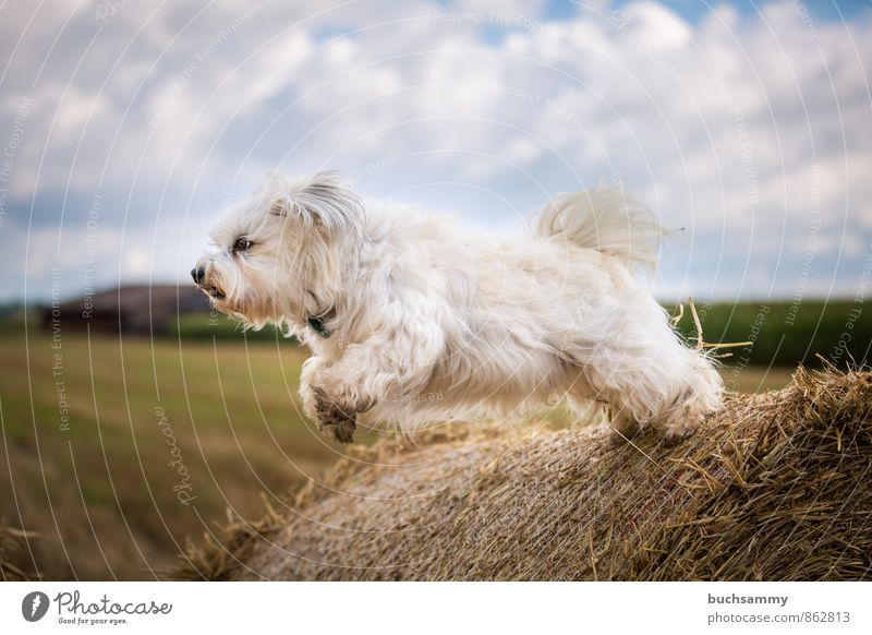 A Havanese takes off Animal Sky Clouds Pelt Long-haired Pet Dog 1 Flying Jump Athletic Blue Yellow White Joy bichon Bichon Havanais youthful Straw Bale of straw