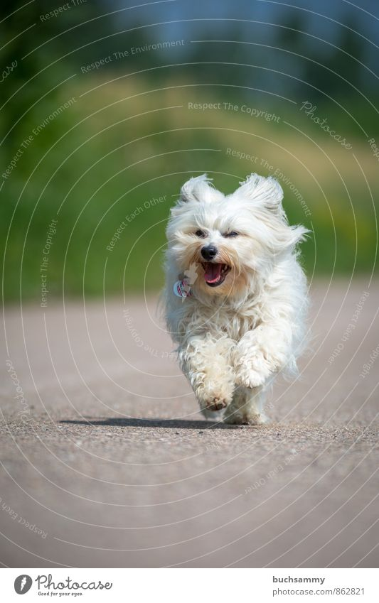 Happy Havanese Animal Street Pelt Long-haired Pet Dog 1 Speed Gray Green White bichon Bichon Havanaese youthful Fun Joy Walking Running four-legged friends