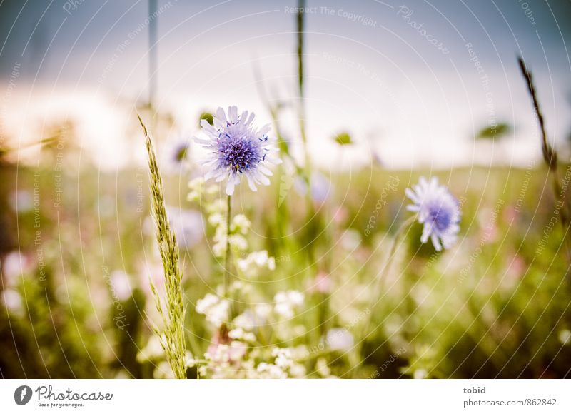 Summer meadow Pt. 3 Nature Landscape Plant Sky Cloudless sky Horizon Sun Beautiful weather Grass Summerflower Meadow Esthetic Fragrance Friendliness Bright