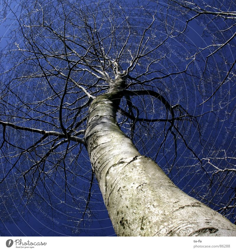 sky-high Sky blue Upward Beech tree Large Tree trunk Might Winter Above Tall Firmament Level Exceptional giant