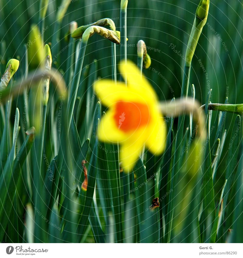 sharp buds Bulb flowers Wild daffodil Narcissus Yellow Spring Spring flowering plant Field Flower meadow Blossom Green background sharpness herald of spring