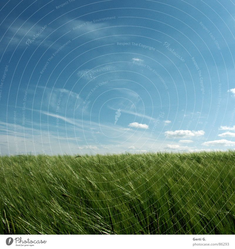 Sky Green Summer Field Glittering Wind Crazy Fresh Square Agriculture Harvest Agriculture Cornfield Juicy Wheat
