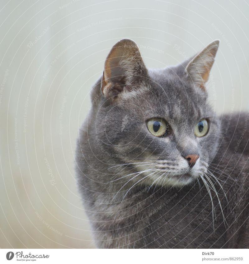 Cat Beautiful White Animal Black Yellow Eyes Gray Brown Pink Elegant Observe Curiosity Discover Serene Listening