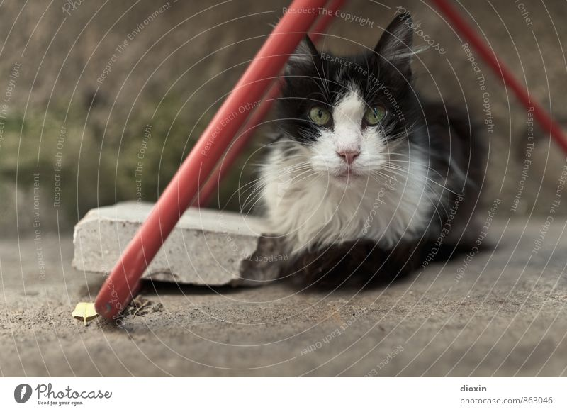 fluff Animal Pet Cat Animal face Pelt 1 Cotheshorse Lie Looking Cuddly Cute Prowl Colour photo Exterior shot Deserted Copy Space left Day Shallow depth of field
