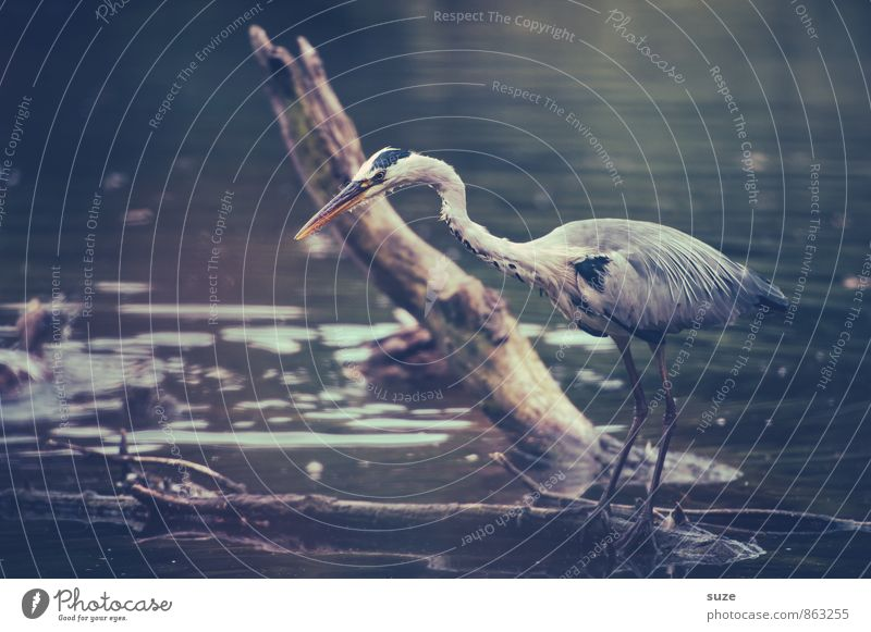 The lining in sight Elegant Hunting Environment Nature Landscape Animal Water Lakeside Pond Wild animal Bird 1 Stand Wait Esthetic Fantastic Blue Gray Appetite