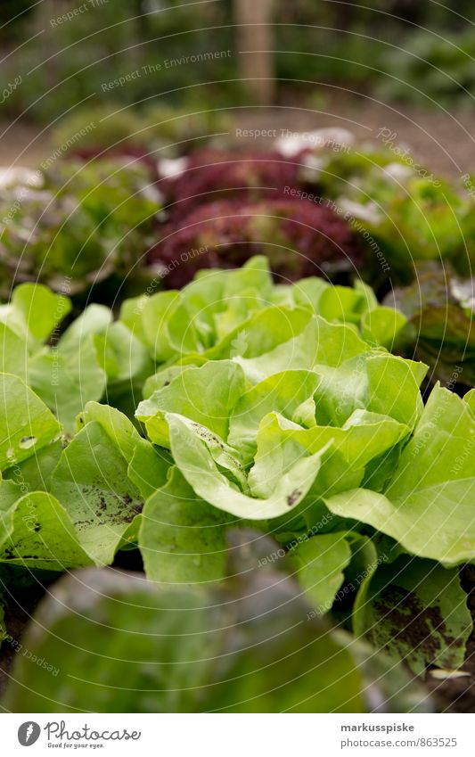 leaf salad Food Lettuce Salad Herbs and spices Cooking oil own requirements self-sufficiency Town Urbanization Urban gardening Nutrition Eating Lunch Dinner