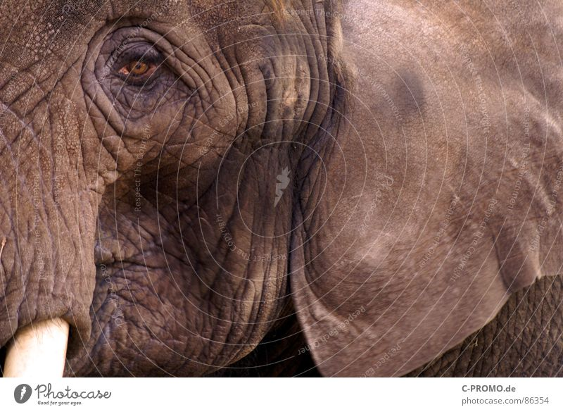 Animal Grief Africa Zoo Wrinkles Distress India Mammal Elephant Trunk Farm animal Tusk