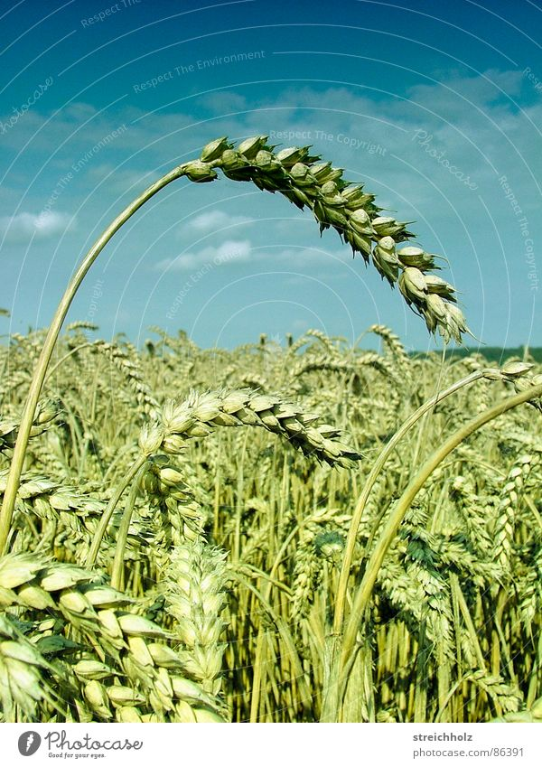Sky White Freedom Happy Field Gold Nutrition Perspective Hope Agriculture Grain Farm Paradise Cornfield Seed Wheat