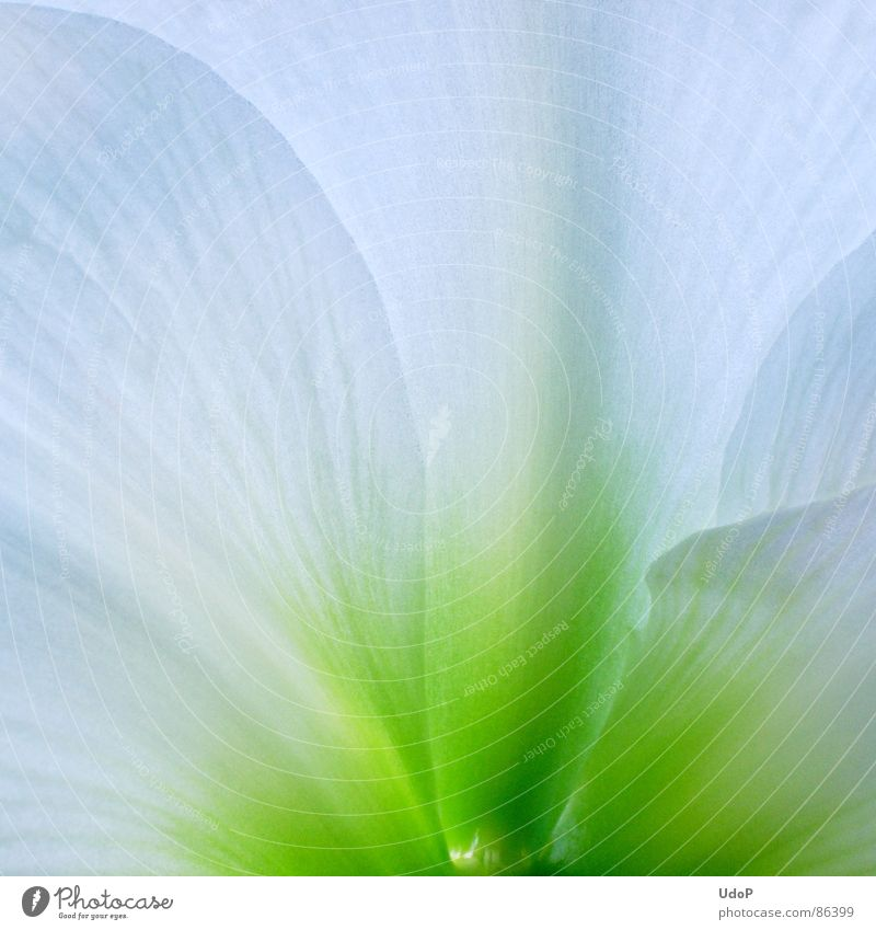 Fairy Amaryllis Blossom Blossom leave Green Color gradient Translucent Part of the plant Illuminating Completion Perfect Macro (Extreme close-up) Close-up