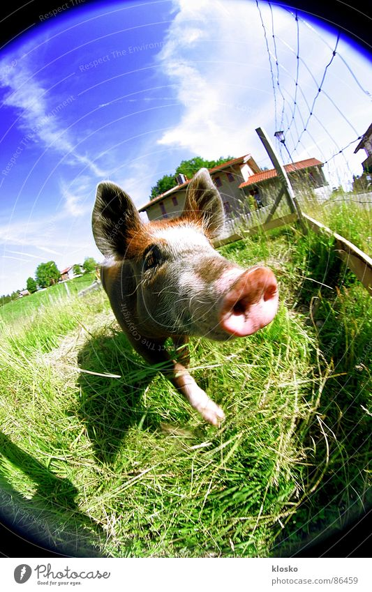 Sky Animal Funny Pink Dirty Fisheye Cute Floor covering Ground Curiosity Agriculture Village Fence Farm Real estate Agriculture