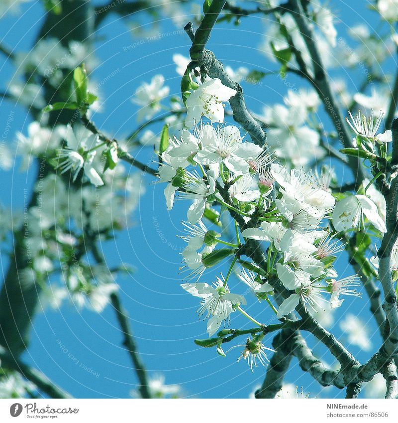 Sky White Green Blossom Happy Spring Moody Warmth Fruit Happiness Climate Physics Branch Blossoming Square Pollen
