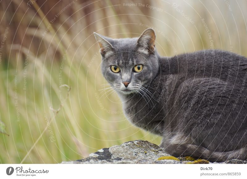 reproachful look Living or residing Garden Summer Grass Lichen Building stone Meadow Finistere Wall (barrier) Wall (building) Animal Pet Cat 1 Crouch Hunting