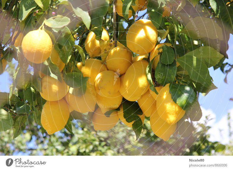 Lemons behind the fence Environment Yellow Tree Sour Fresh Summer Majorca Fruit Fruit trees Colour photo Exterior shot Deserted Day