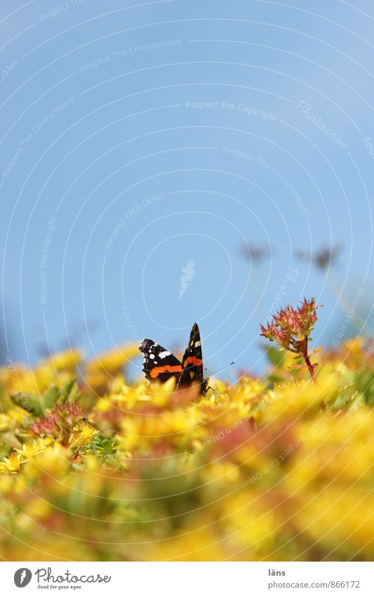 an admiral... Butterfly Red admiral Sky Blue Yellow Blossoming