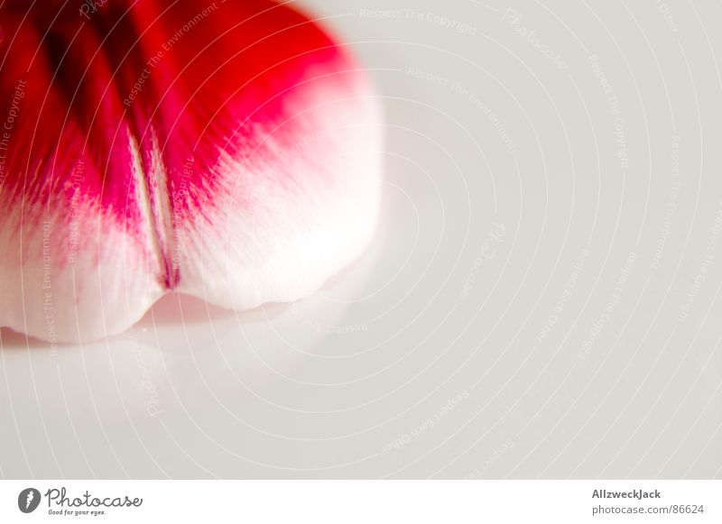 A piece of tulip Run away Tulip Blossom Blossom leave Delicate Red Pink Spring Plant Fresh Romance Decoration Homey Emotions Macro (Extreme close-up) Close-up