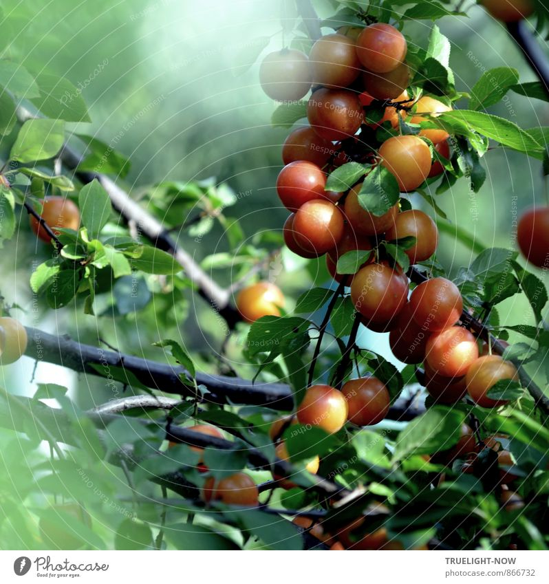 """Mirabelle plums in the morning Fruit Yellow plum Organic produce Nature Summer Fog Plant Tree Leaf Agricultural crop """"Fruit tree Mirabelle Tree"""" Branch Garden"""
