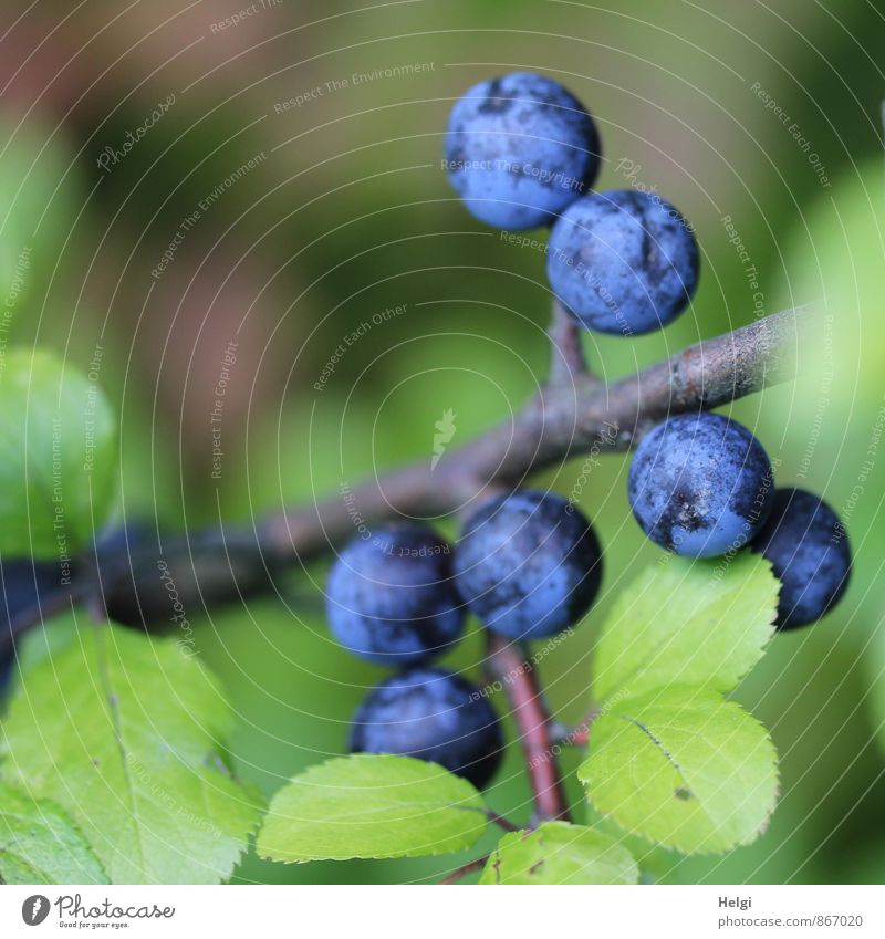 sloppy Environment Nature Plant Summer Bushes Leaf Wild plant Fruit Berries Sloe Sloe leaf Twig Growth Simple Fresh Small Natural Round Blue Brown Green