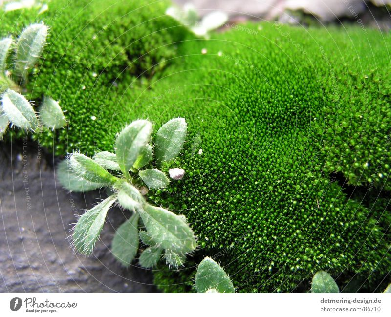 close up moss Close-up Green Near Design Art Gray Fresh Plant Part of the plant Natural phenomenon Environment New recruit mossy green Nature Clarity Stone