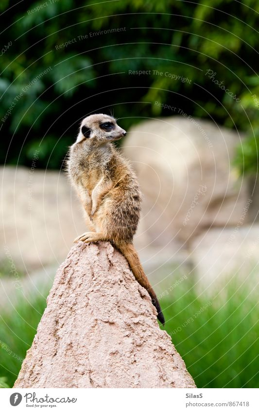 keep a lookout Environment Nature Earth Plant Grass Bushes Hill Rock Animal Pelt Meerkat 1 Rotate Brown Gray Green Protection Diligent Fear Colour photo