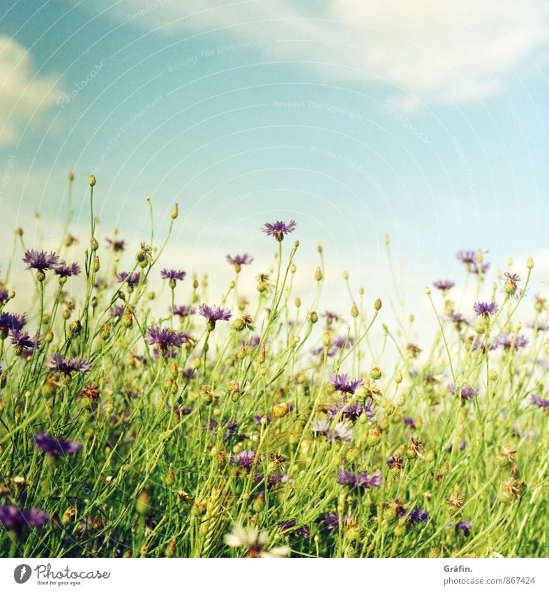 The summer can stay... Environment Nature Landscape Plant Clouds Summer Flower Bushes Foliage plant Agricultural crop Field Blossoming Growth Blue Green Violet