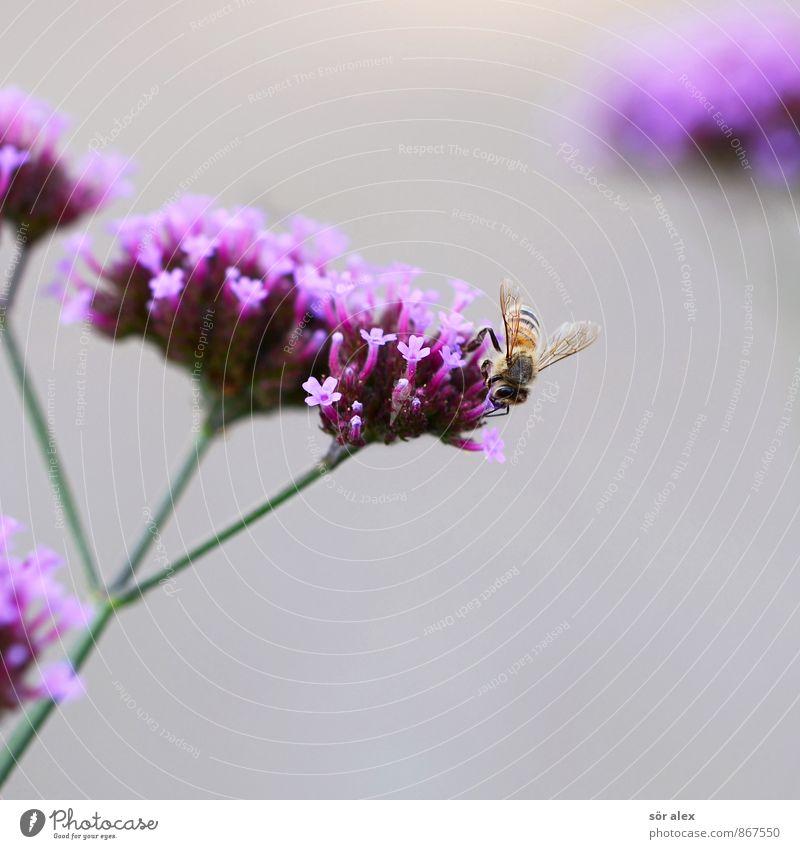 Summ, Summ, Summ Environment Plant Flower Blossom Garden Park Animal Bee Insect Gray Violet Pink Spring fever Honey bee Life Vigor Seasons Bee-keeper