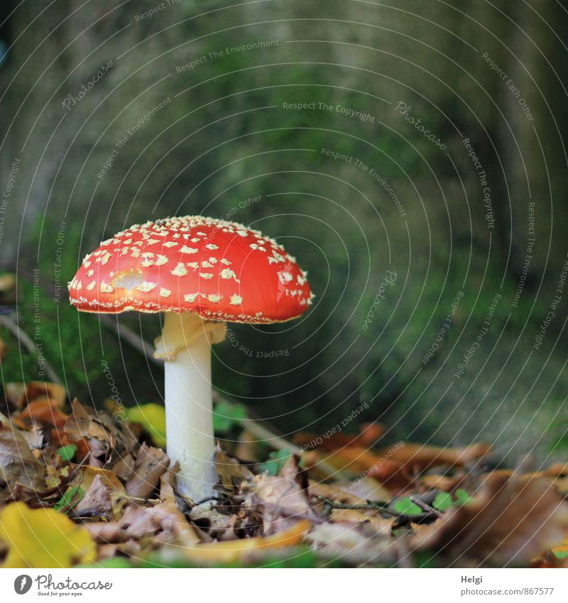 toxic... Environment Nature Autumn Mushroom Amanita mushroom Leaf Woodground Forest Stand Growth Esthetic Beautiful Natural Brown Green Red White Calm