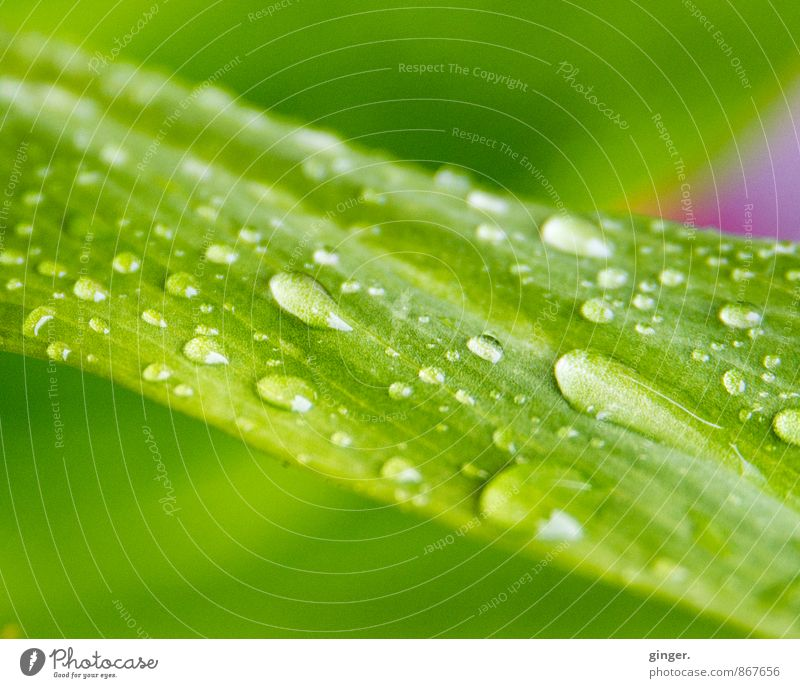 Nature Plant Green Summer Water Leaf Pink Fresh Walking Drops of water Rainwater Many Refreshment Diagonal Difference