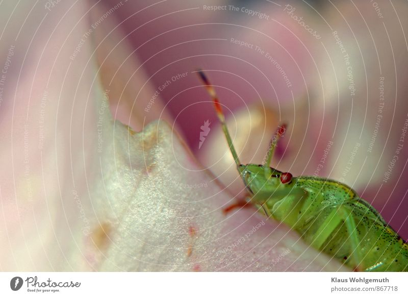 bow Environment Nature Animal Summer Plant Rose Garden Park Meadow Field Forest Beetle Shield bug green leaf bug 1 Crawl Green Pink complex agent Compound eye