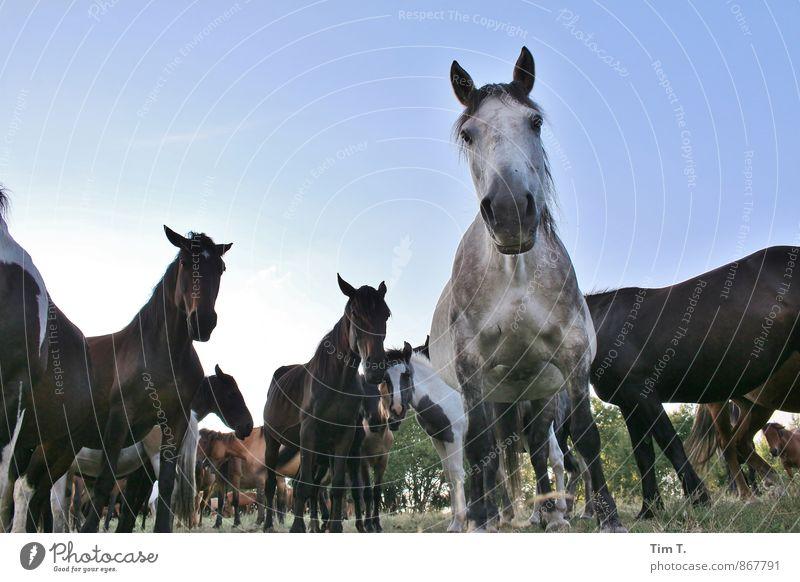 Nature Landscape Animal Idyll Wild animal Group of animals Horse Herd Poland Wild horses